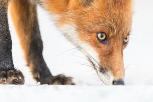 Nosande räv