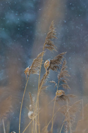 Skäggmesar i snöfall