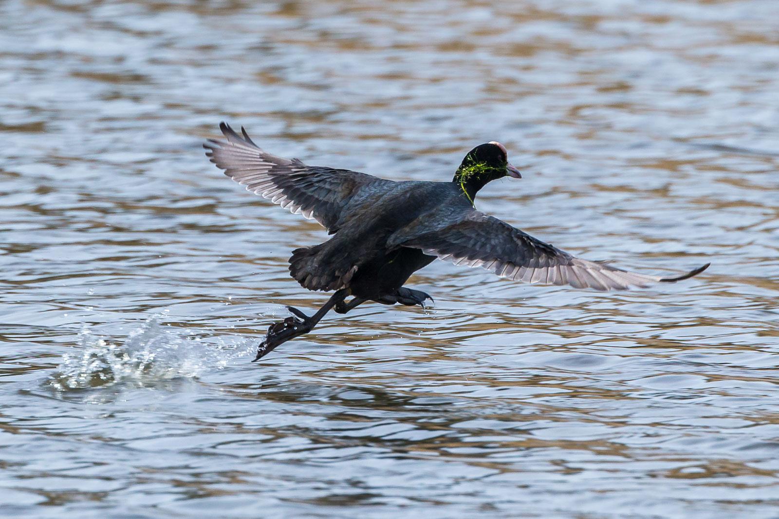 Takeoff med sjögräs i näbben