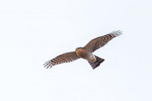 Flygande Sparvhökshanne