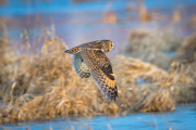 Flygande Hornuggla