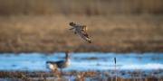 Hornuggla flyger förbi Grågäss