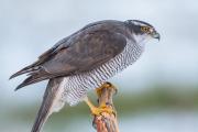 Fågelpinne