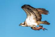 Skrikande Fiskgjuse med nyfångad fisk