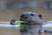 Närbild på ätande Bäver