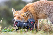 Foxes eat everything