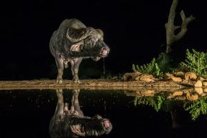 African buffalo at water hole