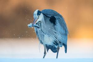 Gråhäger äter fisk