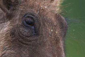 Wharthog closeup