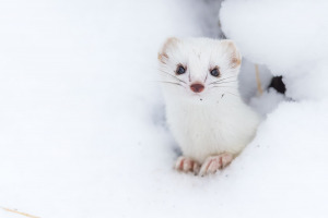 Snövessla i årets första snö